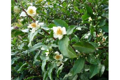Propiedades y Beneficios del Te Verde (Camellia Sinensis)