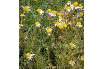 Manzanilla ('Matricaria chamomilla') y sus beneficios